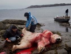 """饮鸩止渴:实拍北极圈里的""""合法""""猎熊人"""